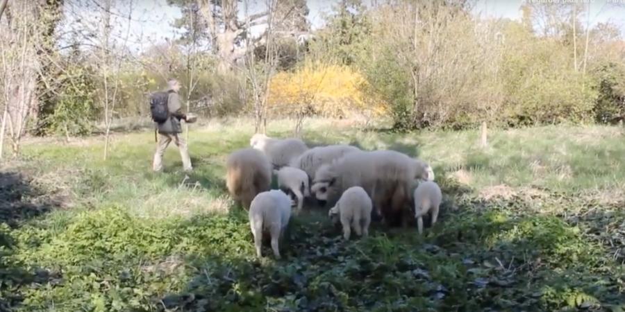 mouton tondent la pelouse du jardin